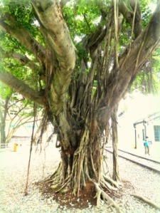 Banyan Tree next to railroad tracks