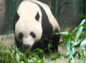 China is very proud of its Pandas!