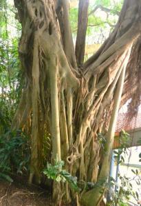 Banyan Tree Detail
