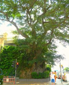 Banyan tree growing from a corner building