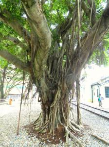 Banyan Tree thriving on the side of the railroad tracks