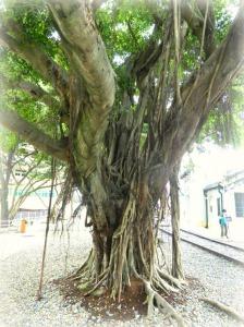 Banyan Tree on side of Railroad Tracks
